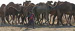 Young herder and his camels, Gujarat, India