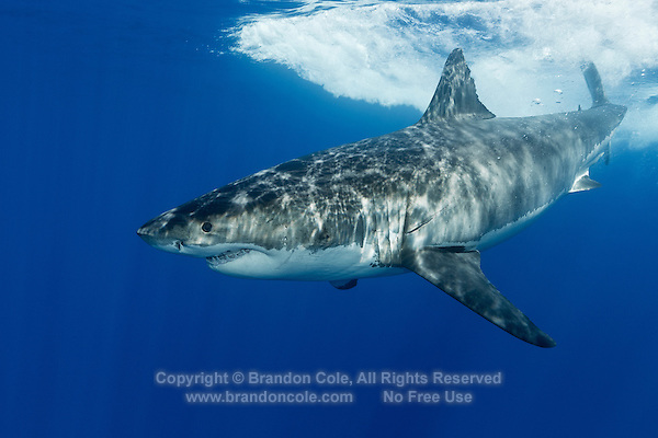 TE0571-D. Great White Shark (Carcharodon carcharias), belongs to the family Lamnidae, the Mackerel Sharks. Females sexually mature at 10 to 12 years old, give birth to 7 to 9 live pups approximately 4 feet in length. With only 4 to 6 such litters in a lifetime, this species is extremely vulnerable to overfishing and slow to recover from population crashes. Great whites are currently protected in Mexican waters. Guadalupe Island, Baja, Mexico, Pacific Ocean.<br /> Photo Copyright &copy; Brandon Cole. All rights reserved worldwide.  www.brandoncole.com