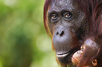 Female Bornean Orangutan 'Yuni' (Pongo pygmaeus wurmbii) with her young, aged 3-6 months, Camp Leakey, Tanjung Puting National Park, Central Kalimantan, Borneo, Indonesia. Rehabilitated and released (or descended from) between 1971 and 1995. Portrait taken Jul 2010.