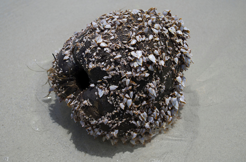 A washed up coconut covered in barnacles.