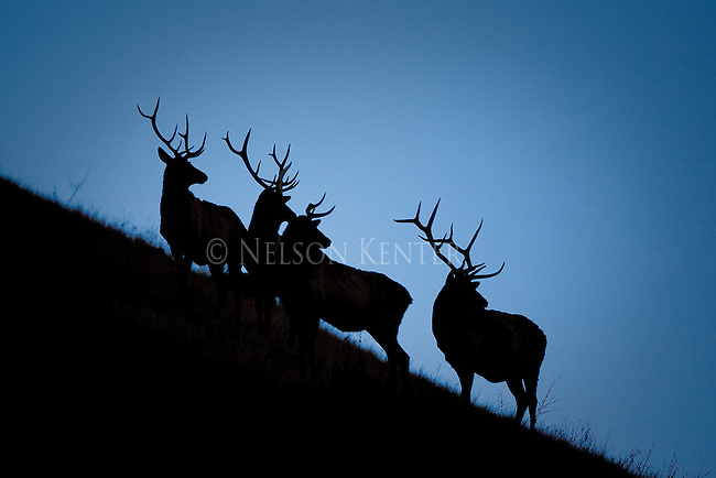 Four Bull Elk are silhouetted on a hill at twilight in Montana