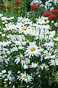 Leucanthemum maximum (syn. Chrysanthemum maximum), mid July. Also known as Max chrysanthemum, this is one of the wild chrysanthemums crossed to produce the popular garden hybrid known as the Shasta daisy (Leucanthemum × superbum).