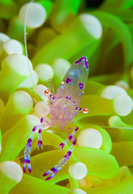 Commensal shrimp (Periclimenes holthuisi) on anemone, Fathers reefs, Kimbe Bay