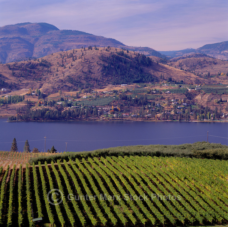 Vineyards at Skaha Lake near Okanagan Falls, South Okanagan Valley, BC, British Columbia, Canada