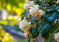 'Buff Beauty' - old Hybrid Musk shrub rose in Sacramento Old City Cemetery