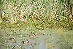 Brazoria County, Damon, Texas; three Blue-winged Teal (Anas discors) ducks swimming on the water's surface of the slough, a male in breeding plumage and two females