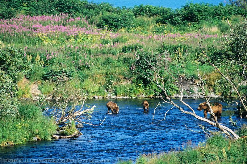 Kodiak brown bear and spring cubs fish in a stream that flows into Karluk lake, Kodiak, Alaska