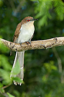 513510007 a wild adult black-billed cuckoo coccyzus erythropthaimus perches on a large branch on south padre island cameron county texas