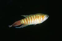 Makropode, Paradiesfisch, Gabelschwanzmakropode, Großflosser, Kiemenfleck, Macropodus opercularis, paradise fish, paradisefish, paradise gourami, Le poisson-paradis, Labyrinthfische