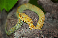 489000015 a captive yellow and bluish variable bush viper atheris squamigera sits coilded on a limb species is native to cameroon in west central africa
