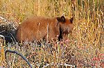 Black Bear, Cinnamon Cub, Elk Creek, Yellowstone National Park, Wyoming