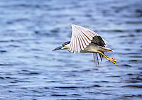 Black Crowned Night Heron in flight with wings partially up in downstroke