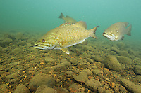 Group of Smallmouth Bass<br />