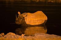 Black rhinoceros in a watering hole, Okaukuejo Resort, Etosha National Park, Namibia