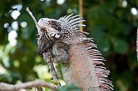 Island Iguana<br />