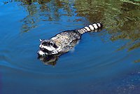 Wild Raccoon (Procyon lotor) swimming in Lake