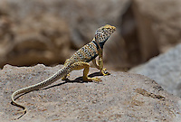 414390031 a wild male great basin or desert collared lizard crotaphytus insularis bicinctores in breeding color pattern perches on a large rock along chalk bluffs road near bishop in inyo county california