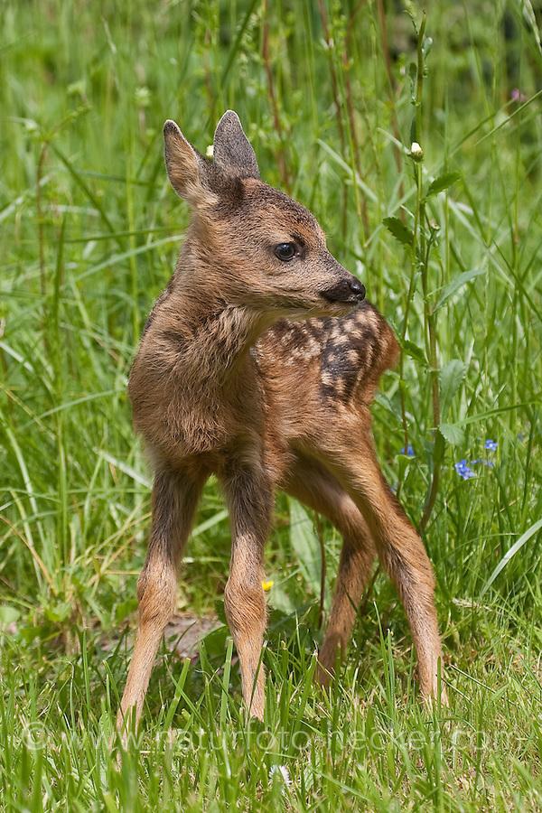 Rehkitz, einige Tage altes Jungtier, Reh-Kitz, Kitz, Tierkind, Tierbaby, Tierbabies, Europäisches Reh, Ricke, Weibchen, Capreolus capreolus, Roe Deer, Chevreuil