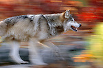 Gray wolf, blurred motion, Minnesota, USA