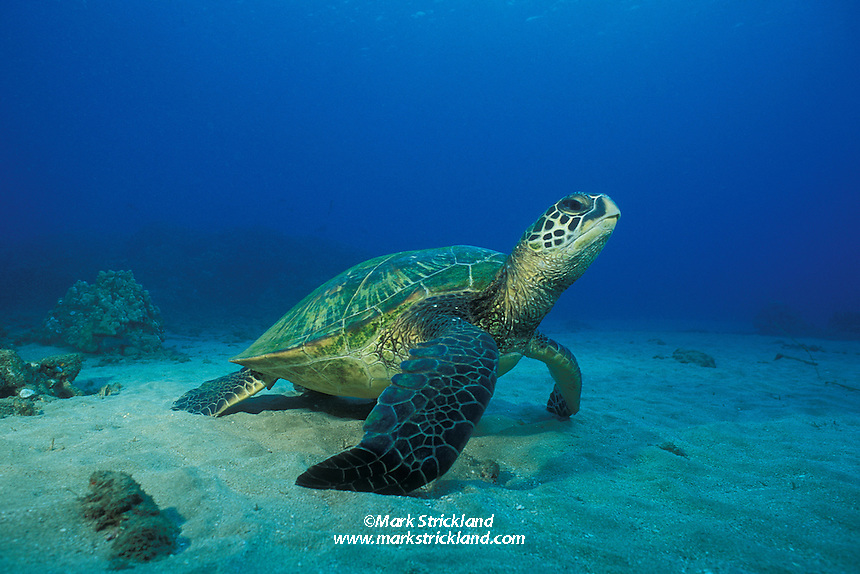 A Green Sea Turtle, Chelonia mydas, rests on a sand patch in shallow water.  Maui, Hawaii, Pacific Ocean