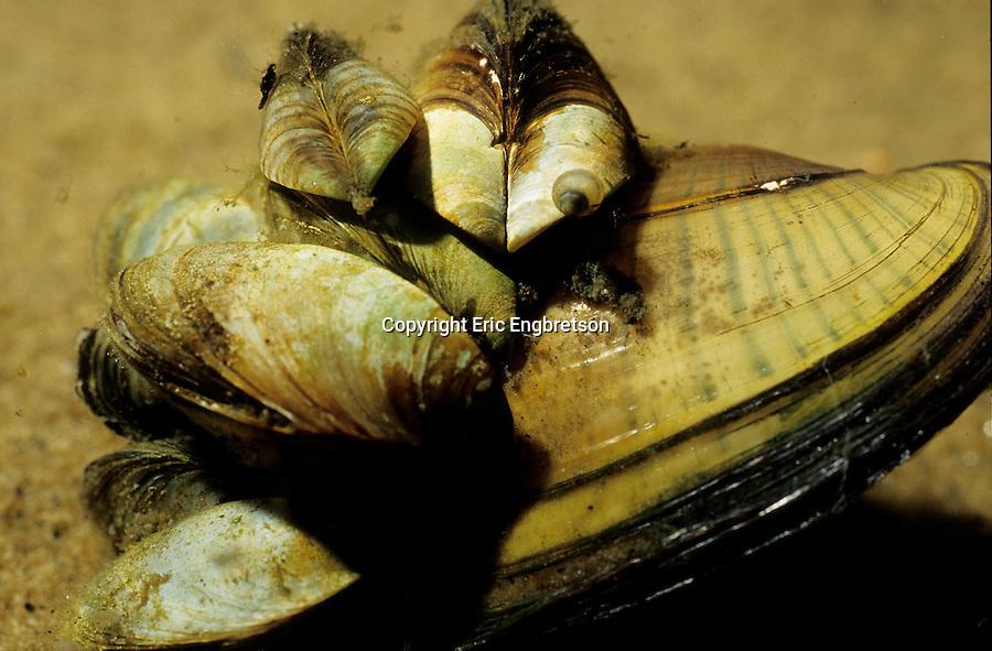 invasive species zebra mussels