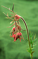 169300002  wild prairie smoke wildflower genum trifolium puts forth several pink blossoms from its flower stalk in yellowstone national park in wyoming