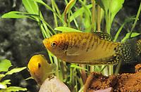 """Goldener Fadenfisch, Goldgurami, Zuchtform von Gepunkteter Fadenfisch, Punktierter Fadenfisch, Blauer Fadenfisch, Trichopodus trichopterus, Trichogaster trichopterus, """"gold"""", gold gourami, three spot gourami, blue gourami, Le Gourami bleu, Labyrinthfische, Fadenfische, Anabantoidei"""