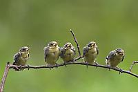 Blaumeise, flügge Küken, Jungvögel, Jungvogel, Blau-Meise, Meise, Cyanistes caeruleus, Parus caeruleus, Blue Tit, Mésange bleue