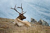 Bull Elk above tree line.