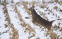 White-tailed Deer (Odocoileus virginianus), buck jumping, USA