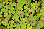 Leaf patterns of redwood sorrel (Oxalis oregana), Jedediah Smith Redwoods State Park, California
