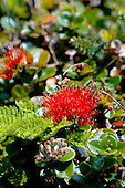 Ohia lehua flower in the rain forest at Pu'u Kukui Watershed Preserve, West Maui Mountains, Maui