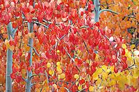 Trembling Aspen Trees (Populus tremuloides), Cariboo Chilcotin Coast Region, BC, British Columbia, Canada - Autumn / Fall