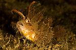 Ambon Scorpionfish (Pteroidichtys amboinensis)