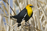 Yellow-headed Blackbird perched amongst the reeds