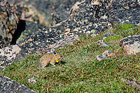 American pika (Ochotona princeps) gathering cinquefoil wildflowers destine for one of its haypiles--winter food supply.  Beartooth Mountains, Wyoming/Montana.  Summer.  This photo was taken in alpine setting at around 11,000 feet (3350 meters) elevation.