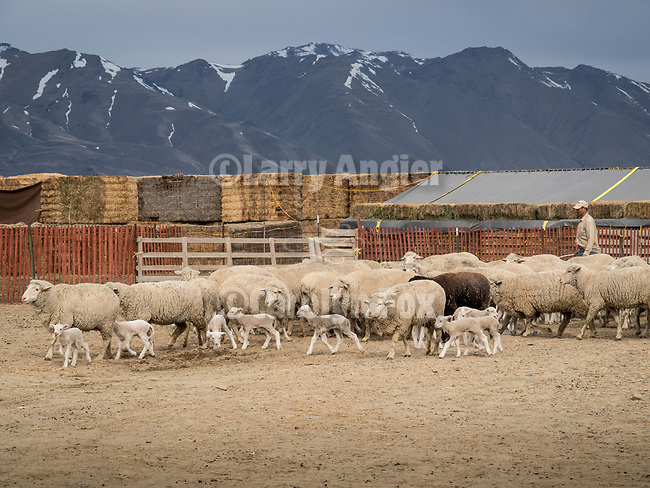Lambs and ewes during spring lambing at the Dufurrena Ranch, Humboldt County, Nev.<br /> <br /> Newly-born lambs and their mamas are walked gently from the birthing barns to pens next to the house, their first journey of many, in early spring at Northern Nevada's Dufurrena Ranch.