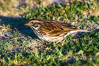 Savannah sparrow patiently crept-up upon and photographed in Jefferson County, Florida next to the Gulf of Mexico. She is so tiny!