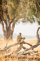 Baboon, Luangwa River Valley, Zambia, Africa