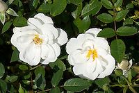 Rosa Kent = Poulcov (AGM) (S/GC) white roses, groundcover roses