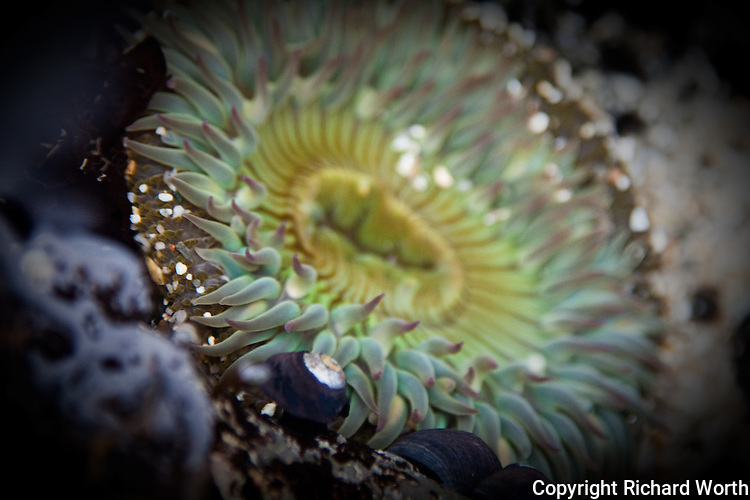 Tentacles at one edge of a sea anemone almost look like they're reaching for the silver and black turban snail nearby.  Fitzgerald Marine Reserve at Moss Beach California.