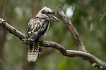 Laughing Kookaburra (Dacelo novaeguineae). Kookaburras (genus Dacelo) are terrestrial tree kingfishers native to Australia and New Guinea, which grow to between 28–42 cm (11–17 in) in length. The name is a loanword from Wiradjuri guuguubarra, onomatopoeic of its call.