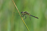 362690023 a wild young male black meadowhawk sympetrum danae perches on a plant stem at river springs mono county california