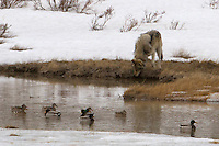 A gray wolf (Canis lupus) from the Blacktail pack in Yellowstone stops to share the water with the mallards.  As long as he appears to be there just for a drink, they will continue to float placidly.<br /> Blacktail Plateau, Yellowstone