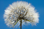 Jack-go-to-bed-at-noon, Tragopogon pratensis, whole seed head, against blue sky background, Provence.France....