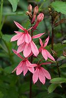 Lobelia 'Fan Lachs' ('Fan Salmon') (pink cardinalis hybrid nativar)