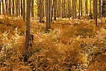 Autumn grove of quaking aspen (Populus tremuloides) and bracken fern, Gunnison National Forest, Colorado