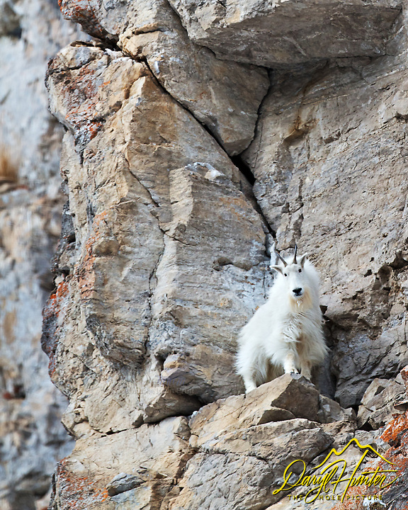 Mountain Goat on a cliff, Snake River Range, Alpine, Wyoming