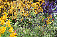Flowering oregano herb (Origanum vulgare) in drought tolerant garden bed with yellow perennial, Anigozanthos, Kangaroo Paw; Schneck Garden