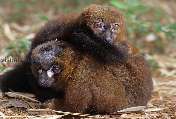 Collared Lemurs ,Eulemur fulvus,, Madagascar, Africa.